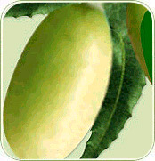 Neem Fruit